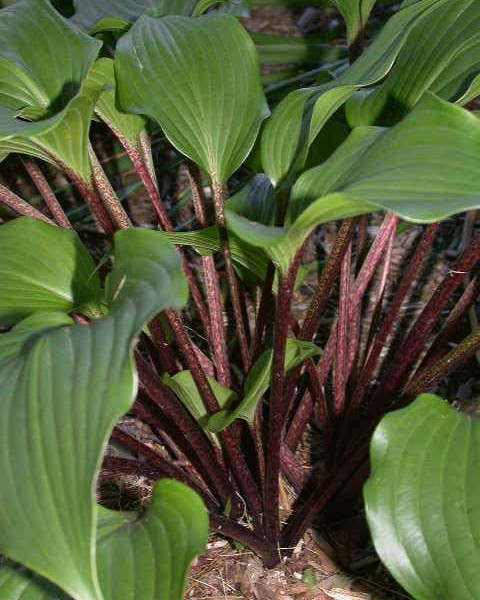One Mans Treasure Hosta