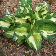 Pathfinder Hosta
