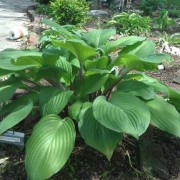 Peacock Strut Hosta