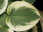 Pie a la Mode Hosta