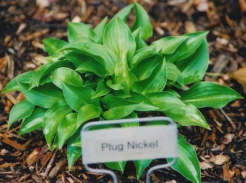 Plug Nickel Hosta