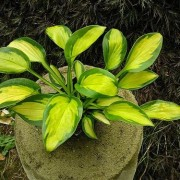 Pocketful of Sunshine Hosta