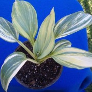Powder Keg Hosta