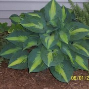 Pride & Joy Hosta