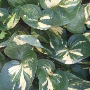Prince of Darkness Hosta