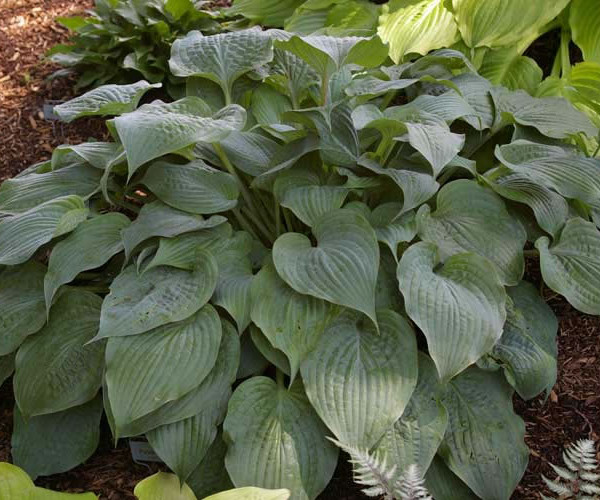 Purple Haze Hosta