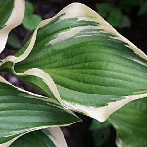 Red Hot Poker Hosta