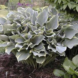Regal Splendor Hosta