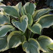 Regal Supreme Hosta