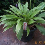 Rollercoaster Ride Hosta