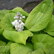 Rosedale Golden Goose Hosta