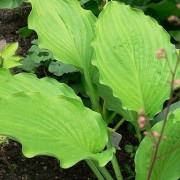 Ruffed Up Hosta