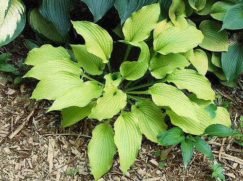 Sea Angel Wings Hosta
