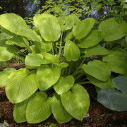Sea White Gold Hosta