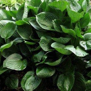Second Wind Hosta