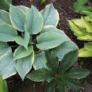 Secret Love Hosta