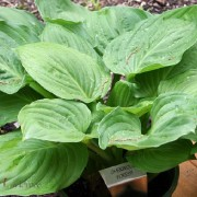 Sherwood Forest Hosta