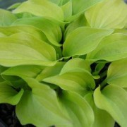 Shiny Penny Hosta