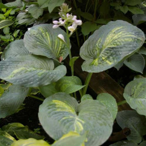 Simply Sharon OS Hosta