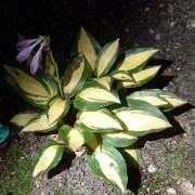 Sitting Pretty Hosta