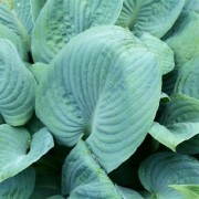 Skylight Hosta