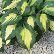 Smash Hit Hosta