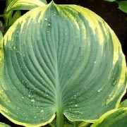 Sophisticated Lady Hosta