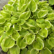 Spellbound Hosta