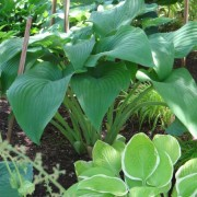 Spirit of St Louis Hosta