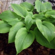 Star-Kissed Hosta