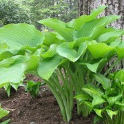 Starboard Light Hosta