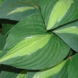 Striptease Hosta