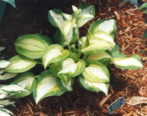 Summer Music Hosta