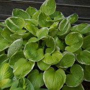 Sun-Kissed Hosta