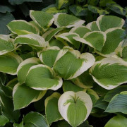 Sunshine Glory Hosta
