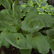 Surf and Turf Hosta