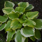 Sweet Innocence Hosta
