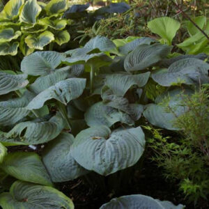 The Hulk Hosta