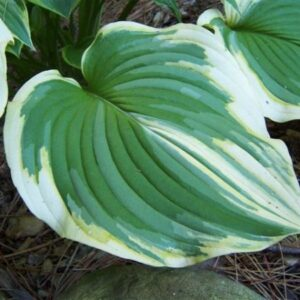 The Leading Edge Hosta