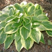 Thumbelina Hosta