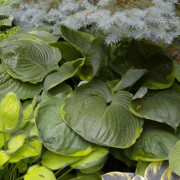 Tiffney's Godzilla Hosta