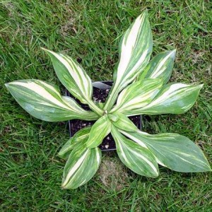 Tom's Dream Hosta