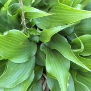 Tongue Twister Hosta