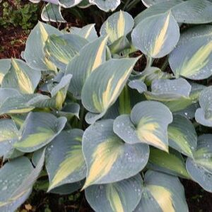 Touch of Class Hosta
