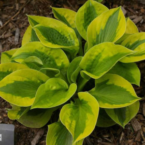 Tropical Storm Hosta
