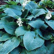 True Blue Hosta
