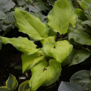 Variable Sum Hosta