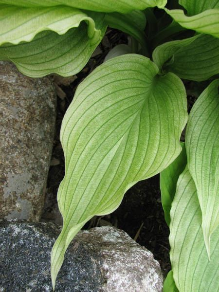 White Wall Tire Hosta
