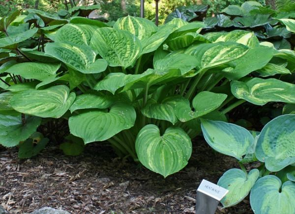 William Lachman Hosta