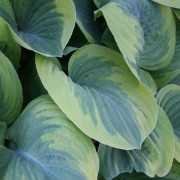Wintergreen Hosta